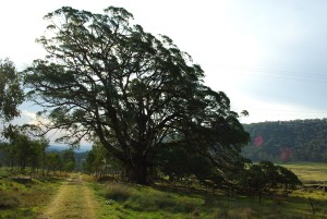 big-old-stringybark