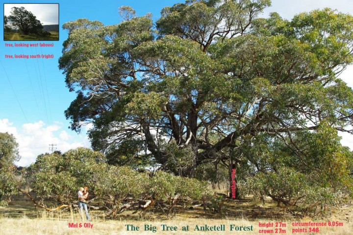 Big Tree at Anketell Forest