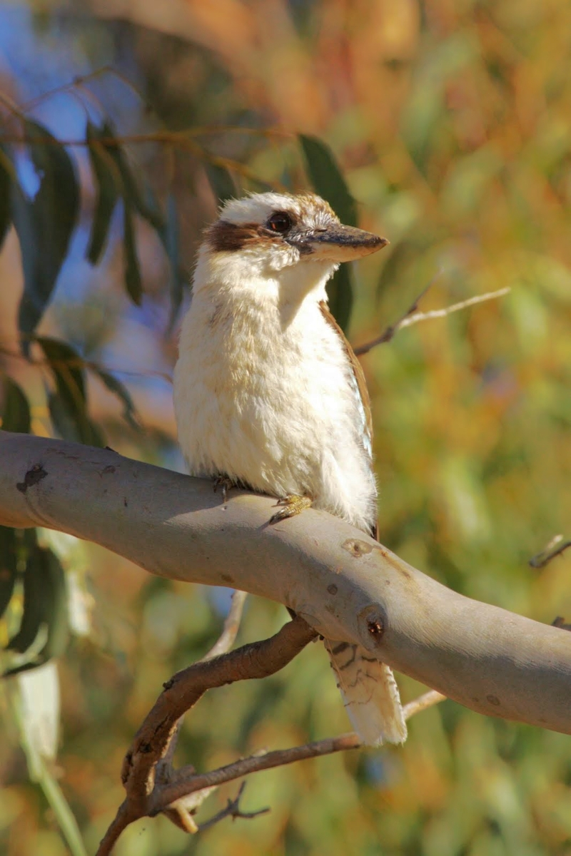 Kookaburra by Renee Linegar